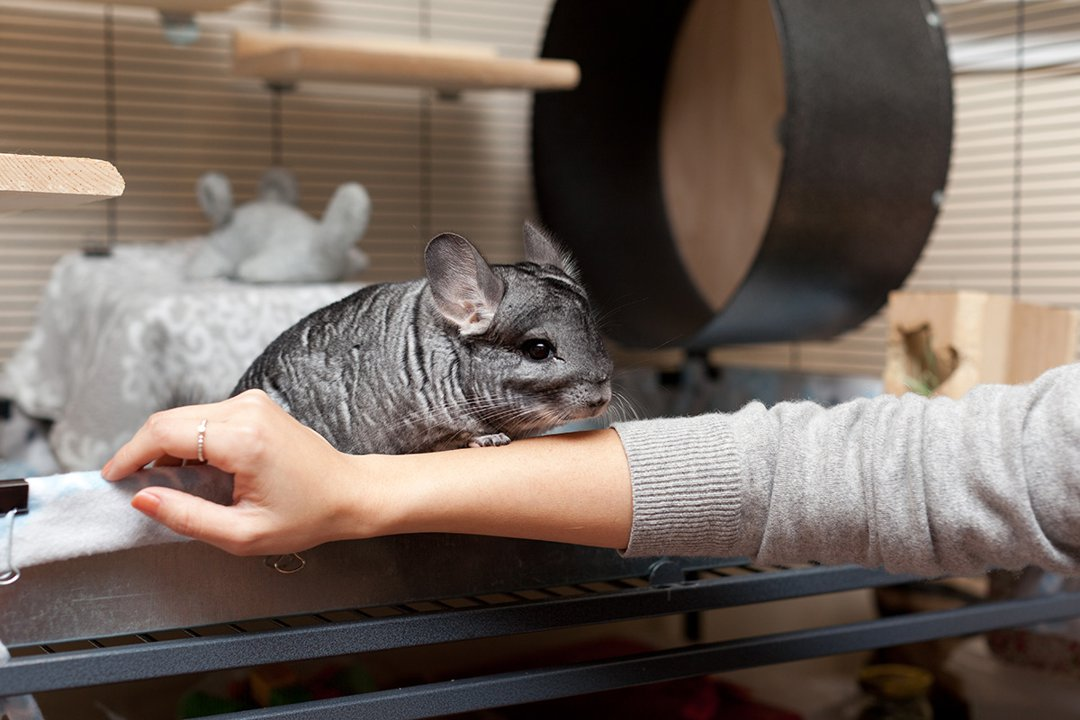 Chinchilla-Cage-on-Womans-Arm