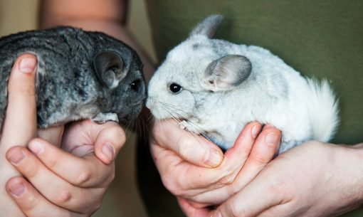 Two-Chinchillas-being-held