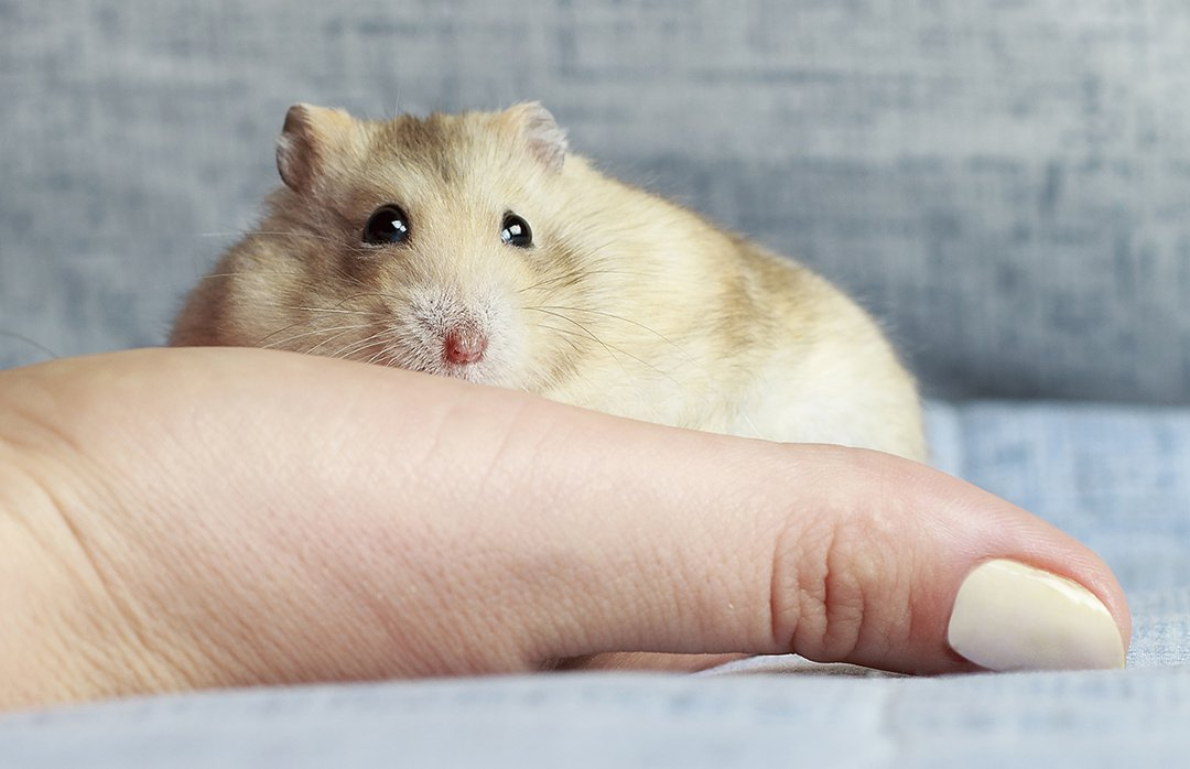 hamster-in-hands-on-sofa
