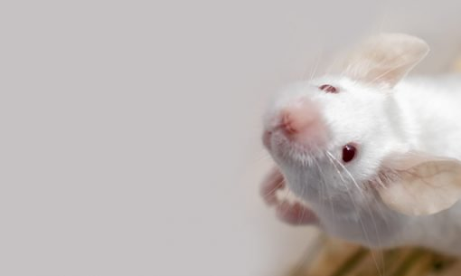 white mouse looking up