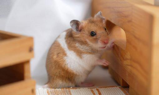 hamster-home