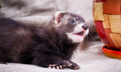 ferret-mouth-open