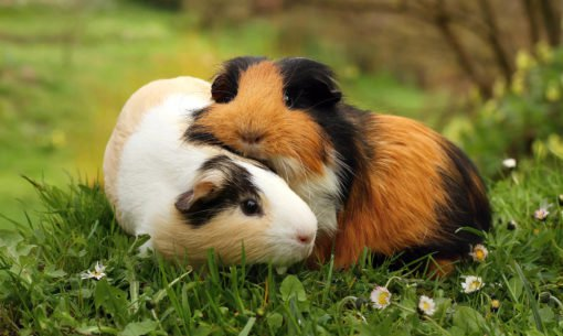 Cuddling Guinea Pigs