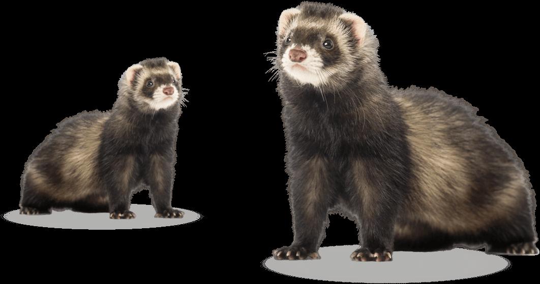 ferret-group