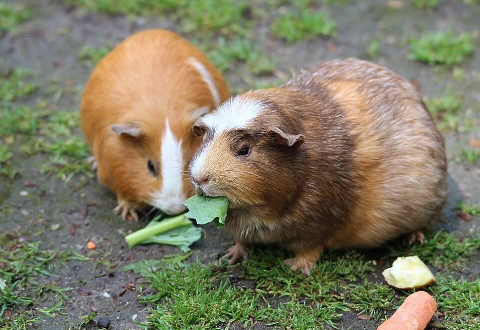 guinea-pig-pair