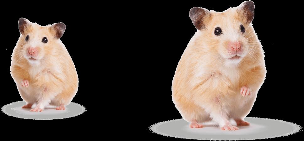 hamster-group