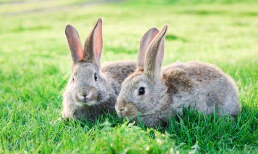 Rabbit pair in field