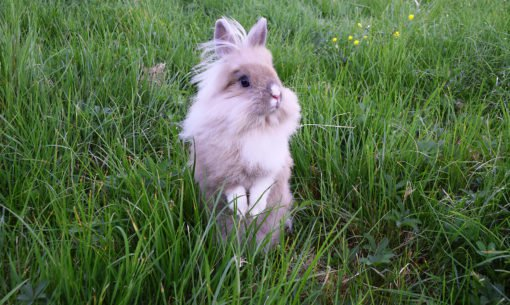Rabbit standing in the grass