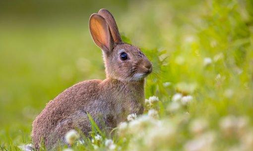 rabbit-grass-daisies