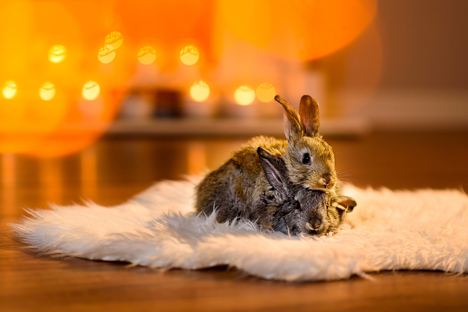 Rabbits on a rug
