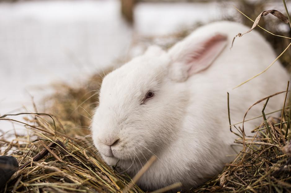 White Rabbit in Hay