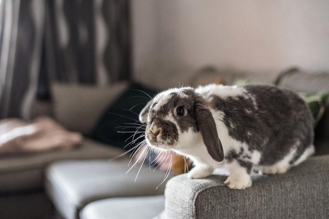 rabbit-