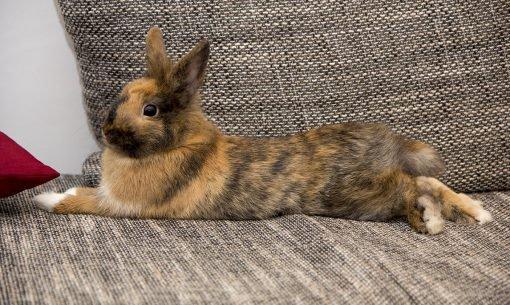 rabbit-laying-on-sofa