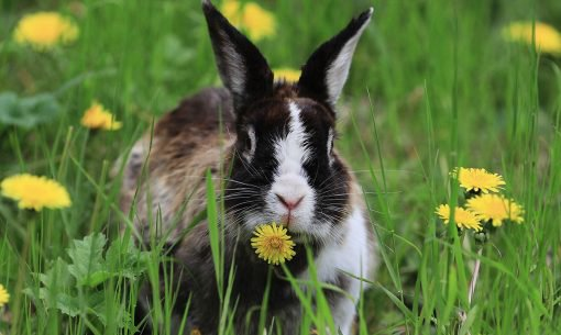 Rabbit Eating Danelions